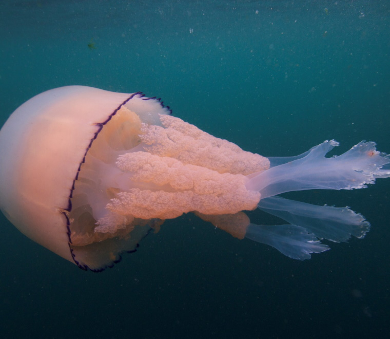 A photo of a pink barrel jellyfish