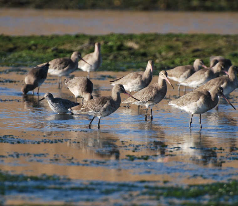 Flock of black-tailed Godwit